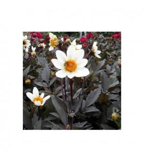 Dalia a foglia rossa Dahlegria white
