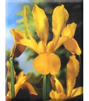 Iris Hollandica Pride of...