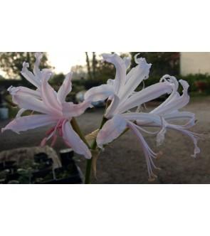Nerine bowdenii Pink Triumph
