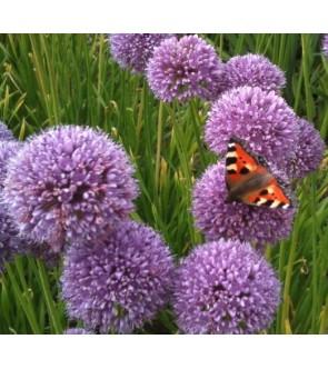 Allium senescens Summer Beauty