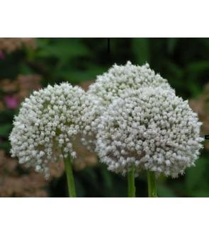 Allium ampeloprasum Ping...