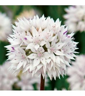 Allium amplectens Graceful...