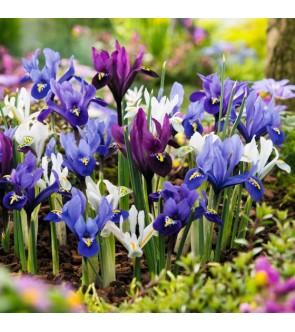 Iris reticulata Miscuglio