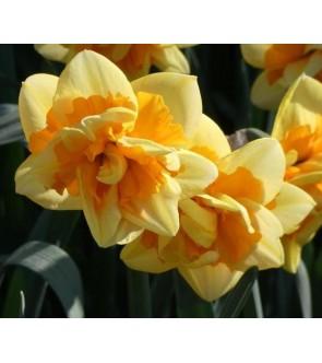 Narciso doppio Jersey Star
