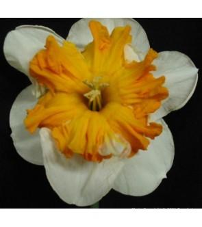 Narciso corona divisa Love...