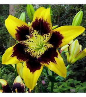 Lilium asiatico Easy Dance
