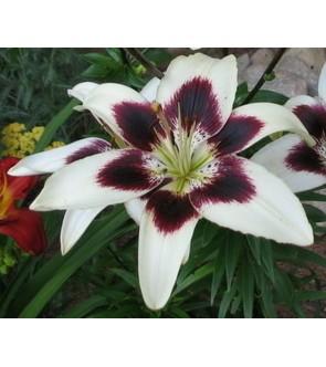 Lilium asiatico Netty's Pride