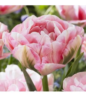 Tulipano doppio Finola