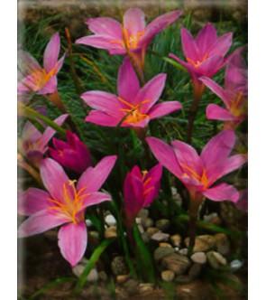 Zephyranthes Rosea