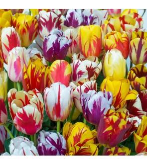 Tulipani Rembrandt in miscuglio