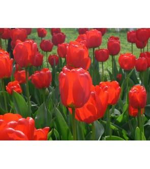 Tulipano a stelo lungo Apeldoorn