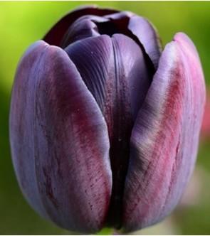 Tulipano stelo lungo Black...