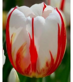 Tulipano stelo lungo Happy...