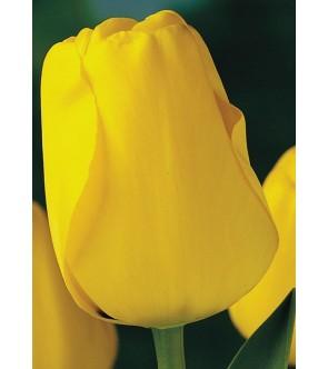Tulipano stelo lungo Golden...