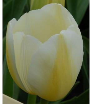Tulipano stelo lungo Pays Bas