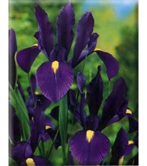 Iris Hollandica Purple...