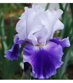 Iris germanica Alpine Castle