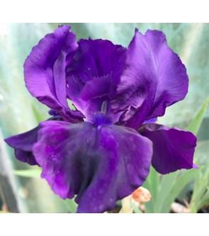 Iris germanica profumato Al...