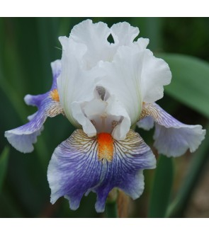 Iris germanica American...