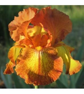 Iris germanica rifiorente Autumn Echo