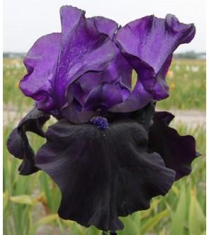 Iris germanica Black Dragon