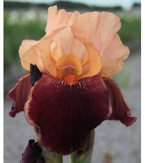 Iris germanica Cimarron Strip