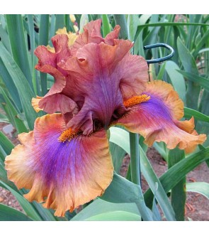 Iris germanica rifiorente...