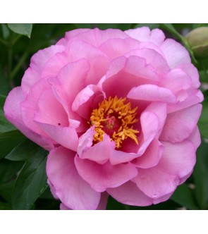 Peonia itoh First Arrival