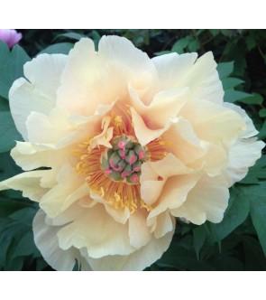 Peonia itoh Garden Treasure