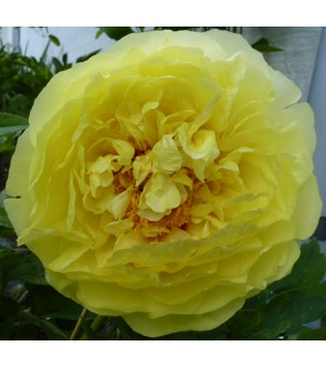 Peonia itoh Yellow Crown