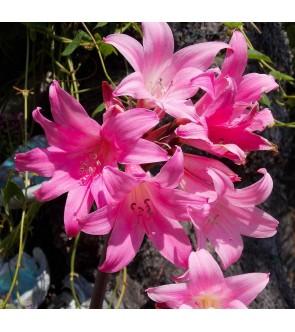 Amaryllis Belladonna Rosa