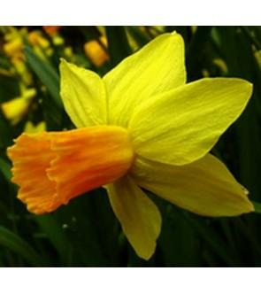 Narciso cyclamineus Jetfire
