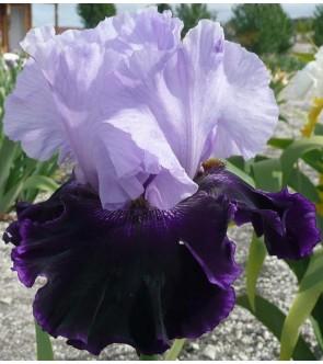 Iris germanica profumato...