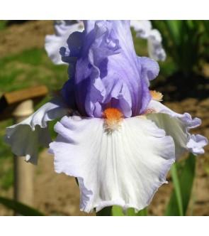 Iris germanica Cool Confidence