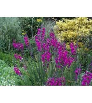 Gladiolus comunis ssp...