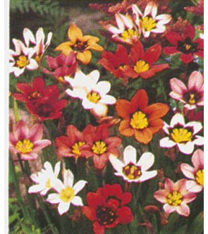 Sparaxis Tricolor mix