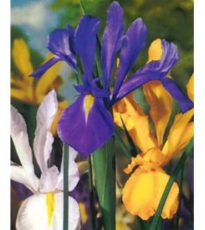 Iris Hollandica Miscuglio