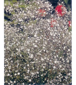 Gypsophila Fairy Perfect...