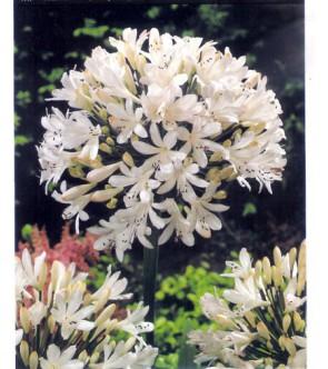 Agapanthus bianco foglia...