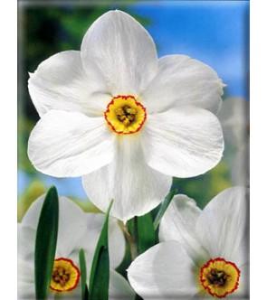 Narciso poeticus Actaea