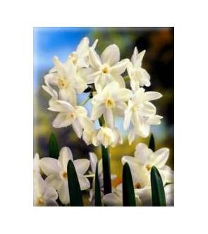 Narciso Paperwhite Ziva