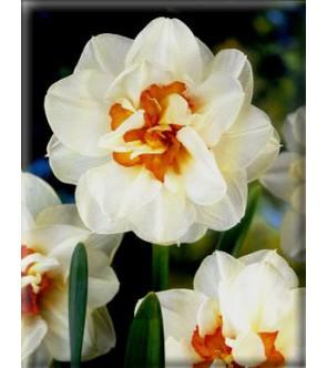 Narciso doppio Flower Drift