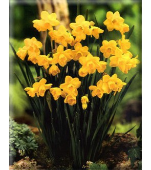 Narciso jonquilla Quail