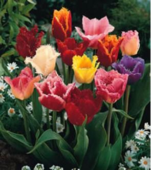Tulipani Crispa o Frangiati...