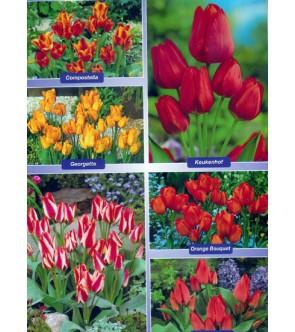 Tulipani Multiflora in...
