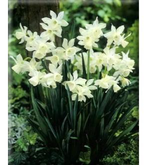 Narciso triandrus Thalia