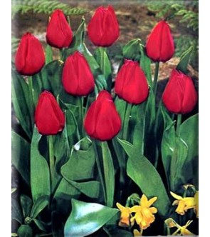 Tulipano botanico Merry...