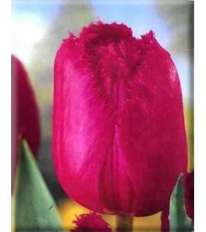 Tulipano crispa Burgundi Lace