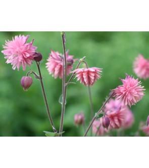 Aquilegia Barlow Pink