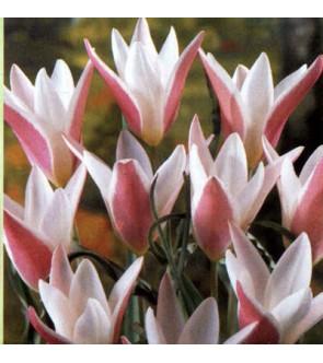 Tulipano Clusiana Lady Jane